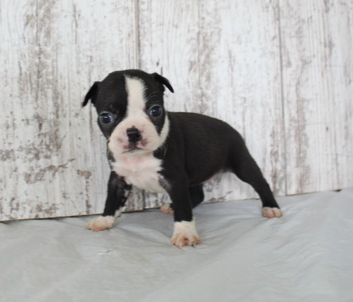 Bree Akc Girl Boston Terrier Puppy In Shipshewana Indiana For