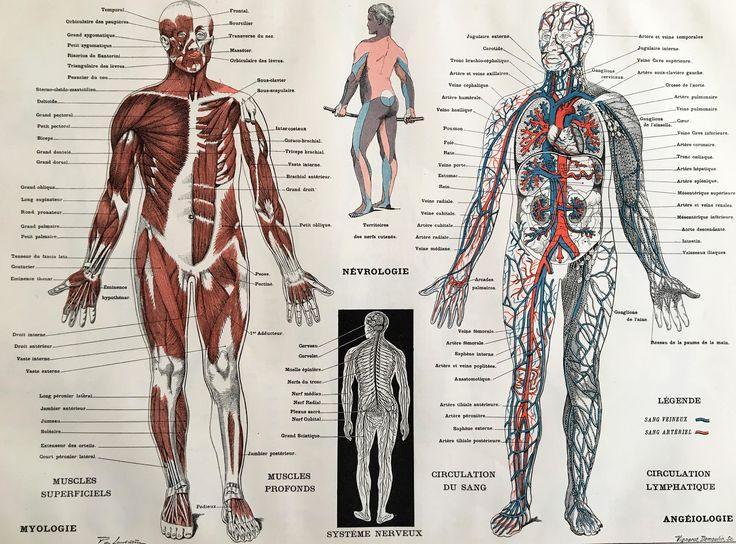 1904.CUERPO HUMANO. Sistema muscular y arterial- Lámina a color.  31 cm. x 24 cm. de tramuntanaoldprints en Etsy https://www.etsy.com/es/listing/526257452/1904cuerpo-humano-sistema-muscular-y