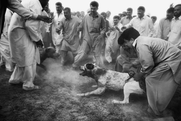 Собачьи бои в Пакистане