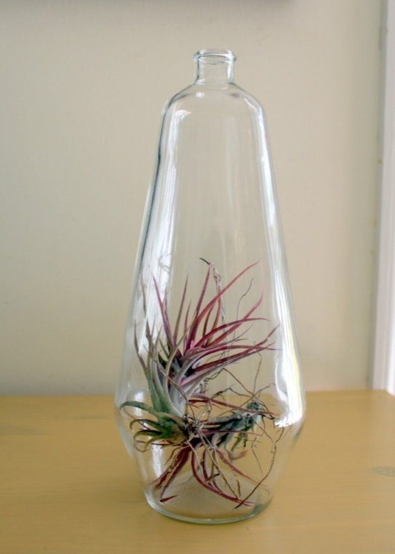 Great Big Bottle of Air Plant
