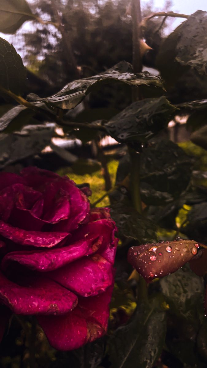 Pin By Mohammad Assem محمد عاصم On Rose Plants Rose
