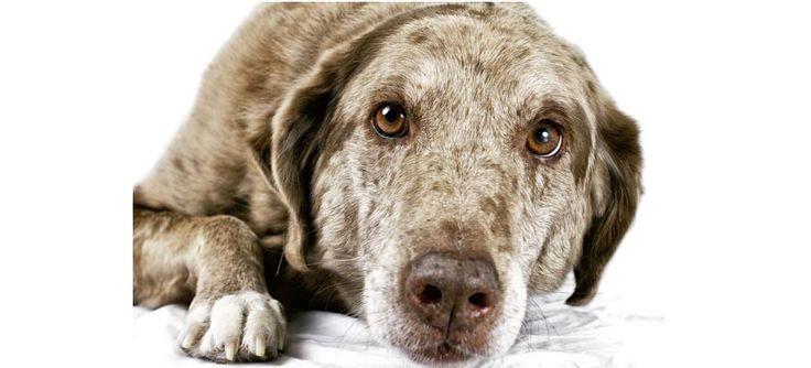 CompartilharDicas de como cuidar de animais idosos Tanto os humanos quanto os animais necessitam de cuidados especiais quando envelhecem. Você como tutor de animais pode ajudar a mantê-los saudáveis por