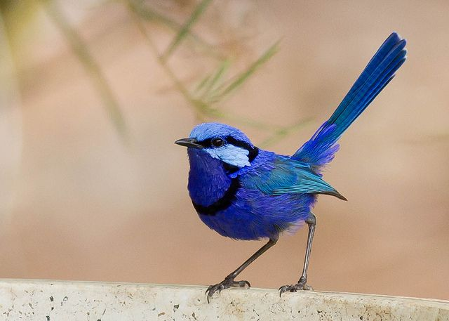 The SPLENDID FAIRY WREN is native to the Australian continent.  The male bird shown is in breeding plumage. Non-breeding males, females and juveniles are predominantly brown-grey in color.  These birds are monogamous socially, but not sexually.  Male birds are known to pluck pink or purple petals for the females as part of the courtship display.  Their diet consists of insects and seeds.