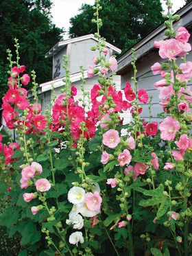 """Hollyhock Old Farmyard Alcea, Perennial Height: Tall 6-8' (Plant 18"""" apart) Bloom Time: Late Spring to Late Summer  Sun-Shade: Full Sun  Zones: 3-9 Soil Condition: Normal, Sandy  Flower / Accent: Mixed / Mixed  Pot Size: 3.5"""" square x 4"""" deep Mixed colors. The old fashioned single, tough Hollyhocks from grandmother's garden conjure beloved memories. Hollyhocks are long lived and self sow easily. Shades of pink, red and yellow."""