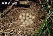 Grey partridge eggs in nest