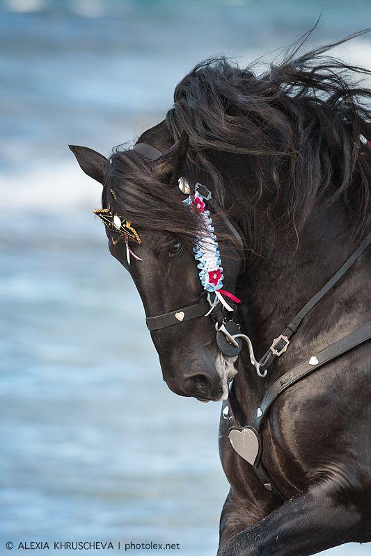 Victorious, a Spanish Menorkskaya breed stallion (photography by Alexia Khruscheva)
