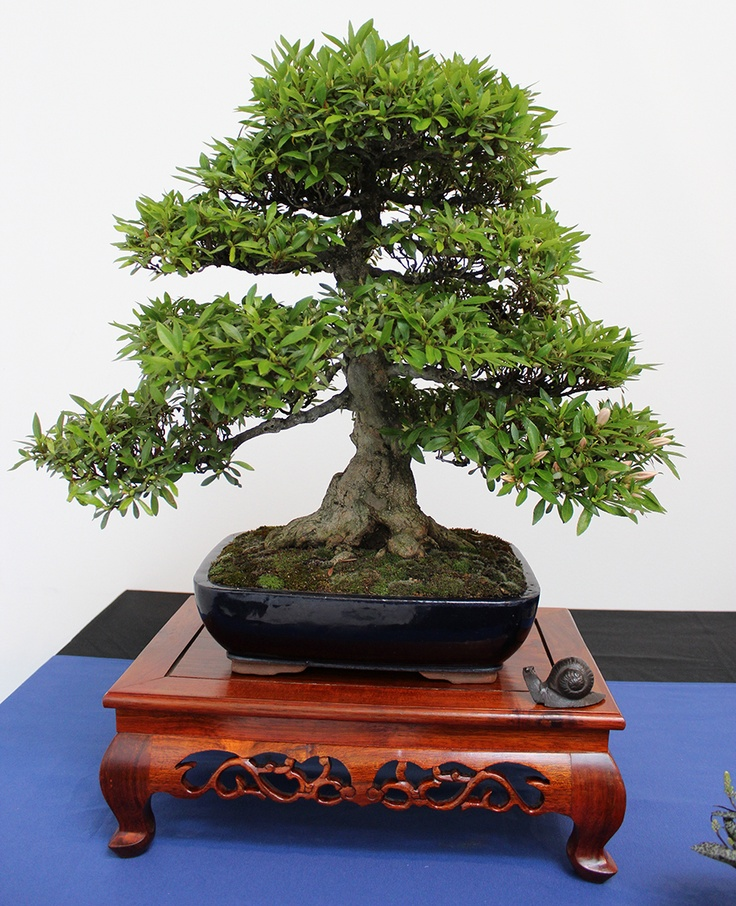 Informaci n sobre bons is for Bonsai indoor