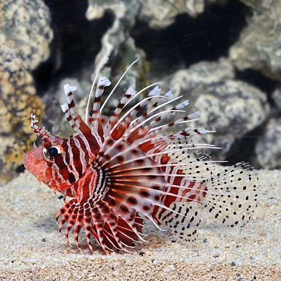 Fuzzy Dwarf Lionfish Google Search Lion Fish Beautiful Creatures Sea Creatures