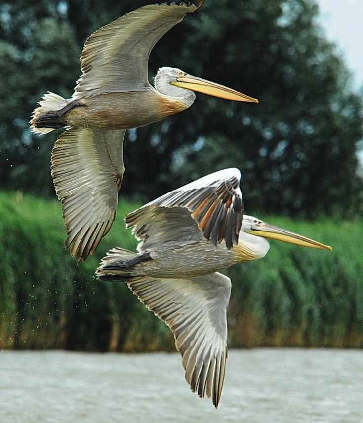Pelicans in the Danube Delta ♦ Romania. Peter Legyel www.romaniasfriends.com / Sejours / Discover the wild paradise of the Danube Delta #romania