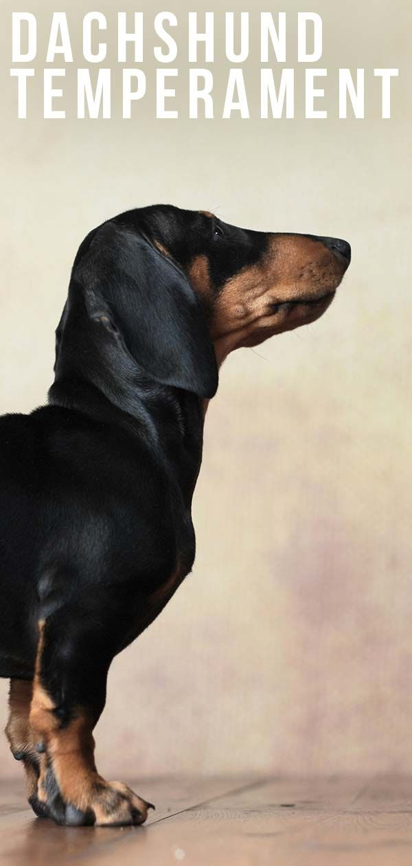 Dachshund Temperament Traits And Personality Man S Best Friend
