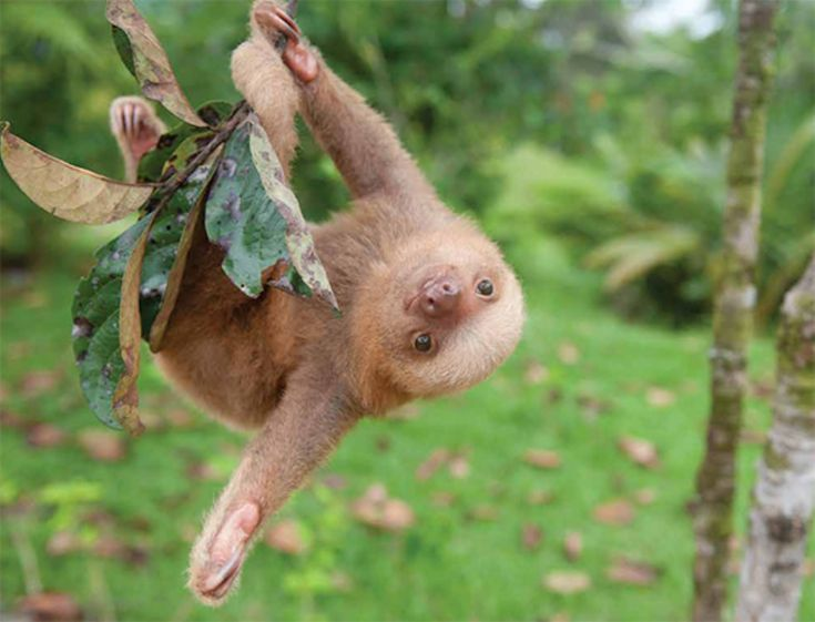 perhaps the hardest aspect of Trull's job is letting go. She has witnessed a number of sloth casualties over these past few years, and each one to her, the self-proclaimed Mother of Sloths, has been devastating. Welcome to The Sloth Institute, the protector of wayward baby sloths.