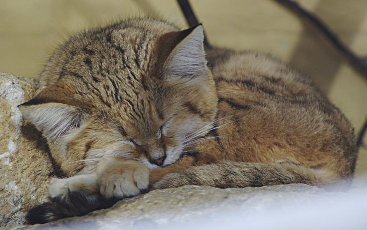 17 Best images about Sand Cat on Pinterest | Israel ...