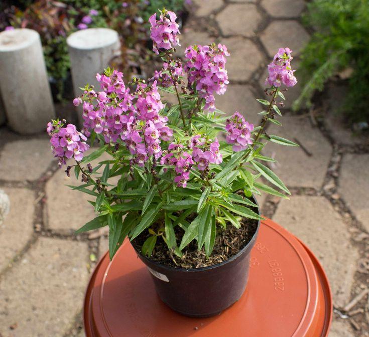 Planta Angelonia Morada