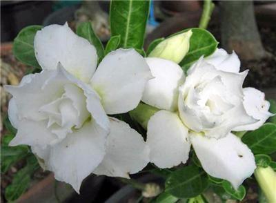 fertilizing desert rose | Adenium Obesum Triple White, Aromatic