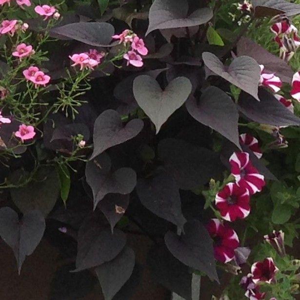 Ipomée+Sweet+Heart+Purple+-+Patate+douce+pourpre