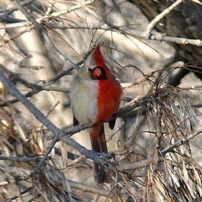 """This is a cardinal """"gynandromorph"""" - an animal that exhibits both female and male sexual characteristics. As different sexes are differently coloured, each half of the bird is a different shade"""