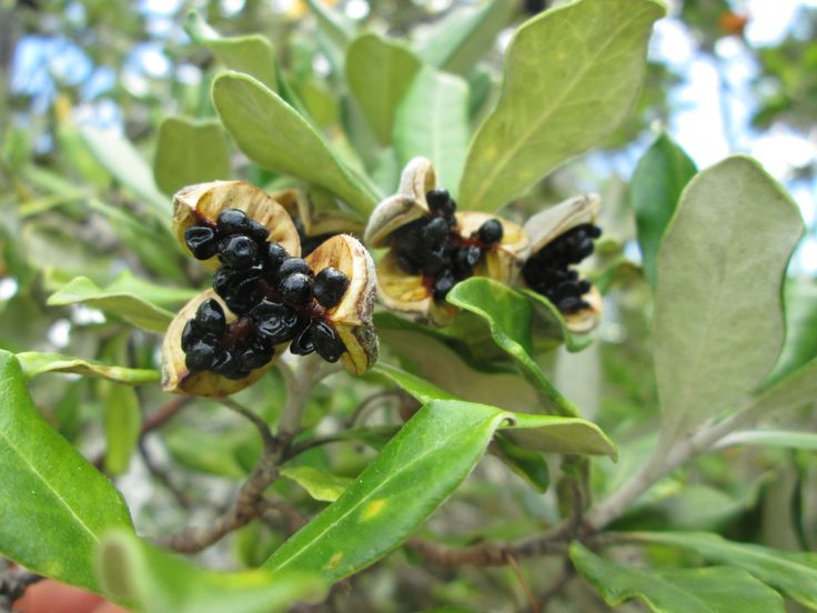 Karo (Pittisporum crassifolium). A tree especially suited to coastal conditions. Fast growing, germinates easily from fallen seed.  Leaves alternating, whitish beneath. Scented purple flowers in spring, round green fruit that burst to reveal sticky black seeds in Autumn.  Attracts birds.