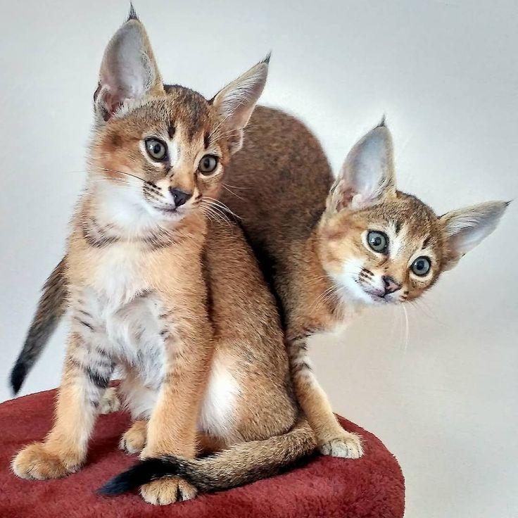 Порода кошек по алфавиту с картинками