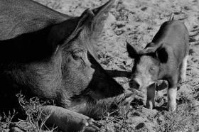 Joseph Jacob/For the Savannah Morning News A young Hampshire piglet walks by its mother. The highly valuable Hampshire pi...