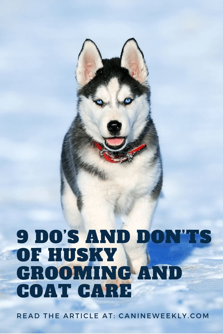 Husky Grooming Guide Everything You Need 9 Husky Shedding Tips