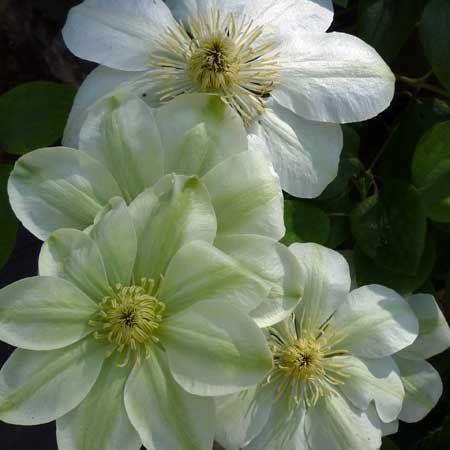 clématite 'Guernsey Cream' - Résiste jusqu'à -20°C - De floraison précoce,  se couvre de fleurs blanc-crème dès le mois de mai.  végétation  dense