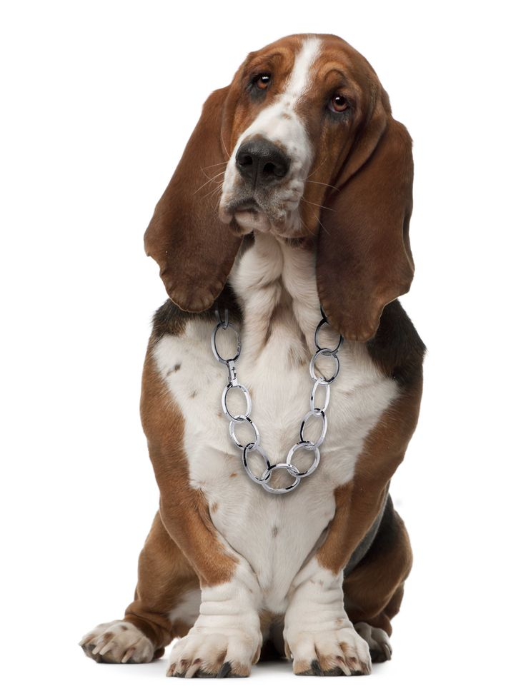 Our gorgeous Basset Hound is looking her best in a sterling silver chain by Swedish designer Efva Attling. LIKE our facebook page to see more from our lovely puppies. https://www.facebook.com/InutiDesignerJewelleryLtd