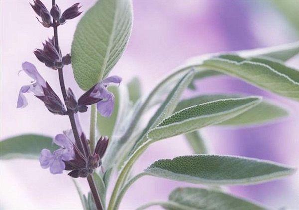 Az orvosi zsálya az ajakos virágúak családjába tartozik. Fűszernövényként és gyógynövényként is egyaránt számon tartják. Elsősorban a medite