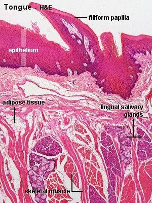 Tongue Histology Histo Medical Science Histology