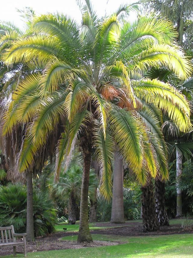 Phoenix rupicola (Cliff Date Palm) - Native to India and much smaller than other date palms (25' x 25') so better suited for residential gardens