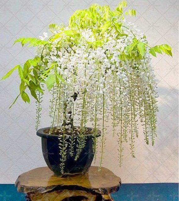 Type De Produit Bonsai Cultiver Le Degre De Difficulte Tres