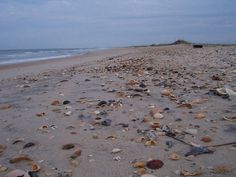 Great Shell Pickins in some places on Atlantic Beach, NC