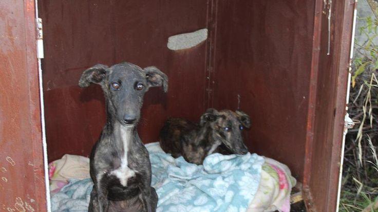 Rescatados en Madrid dos cachorros de galgo abandonados, uno de ellos ciego
