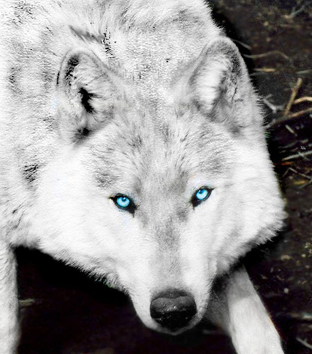 33 best white wolves with bright blue eyes images on ...