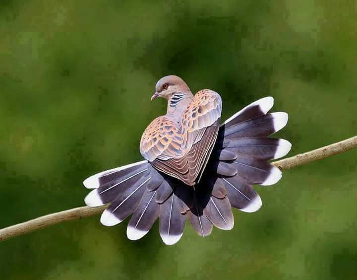 Best 25 turtle dove ideas on pinterest bird outline dove oriental turtle dove asia what an amazing photo moment and truly it must have been only a moment for this photo voltagebd Choice Image