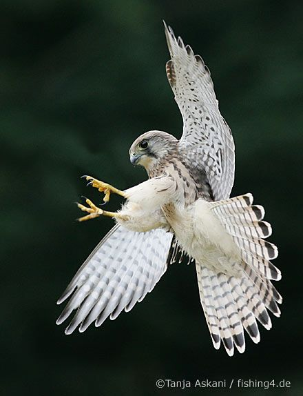 Gyrfalcon is the largest falcon. It breeds on Arctic coasts and the islands of North America, Europe, and Asia.However it looks like the one that sits on a limb everyday in my backyard.