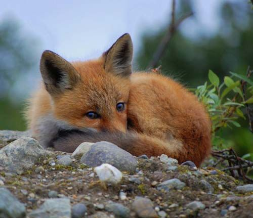 Red Fox Cub by Sebastian Saarloos. Red foxes lived in a den on the neighbor's hill. I often sneaked up and watched the puppies play when I was a kid.