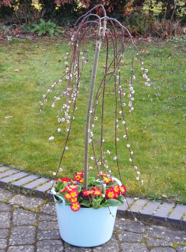 Kilmarnock Willow and beautiful Primroses planted in a 15L Duck Egg Blue Rainbow Trug www.rainbowtrugs.com