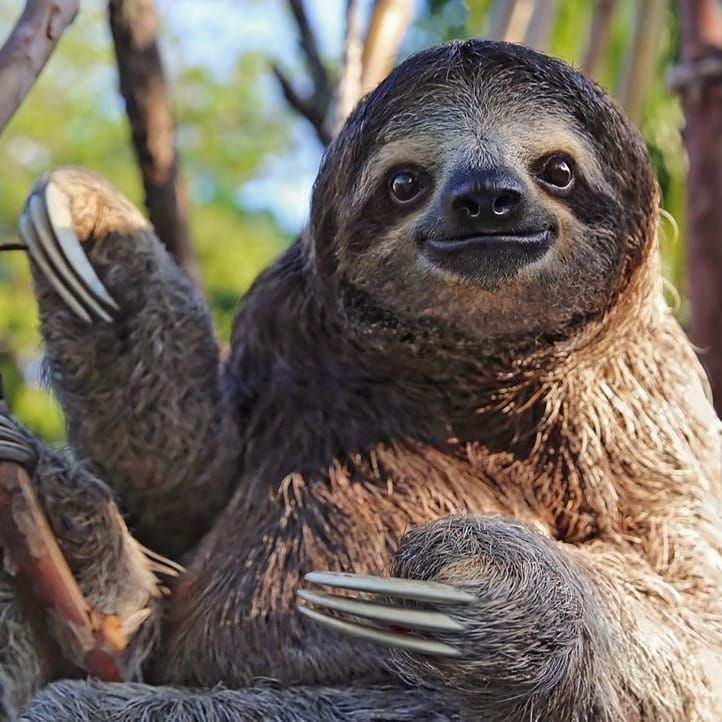 The First Day Of Sloth School Vs The Last Day Photo Via Discovery Discoverwildlife Sloth My Spirit Animal Animal Photography