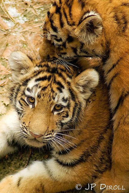 Best 25+ Tiger cubs ideas on Pinterest | Tiger cub, Cute ... Cute Siberian Tiger Shirt