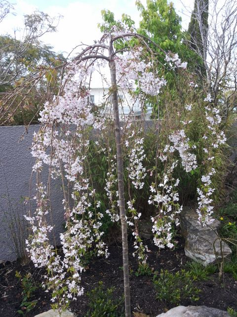 Weeping cherry 'Falling Snow' that we planted a few weeks ago. We took out a large concrete fish pond and created a Japanese influenced garden in its place.
