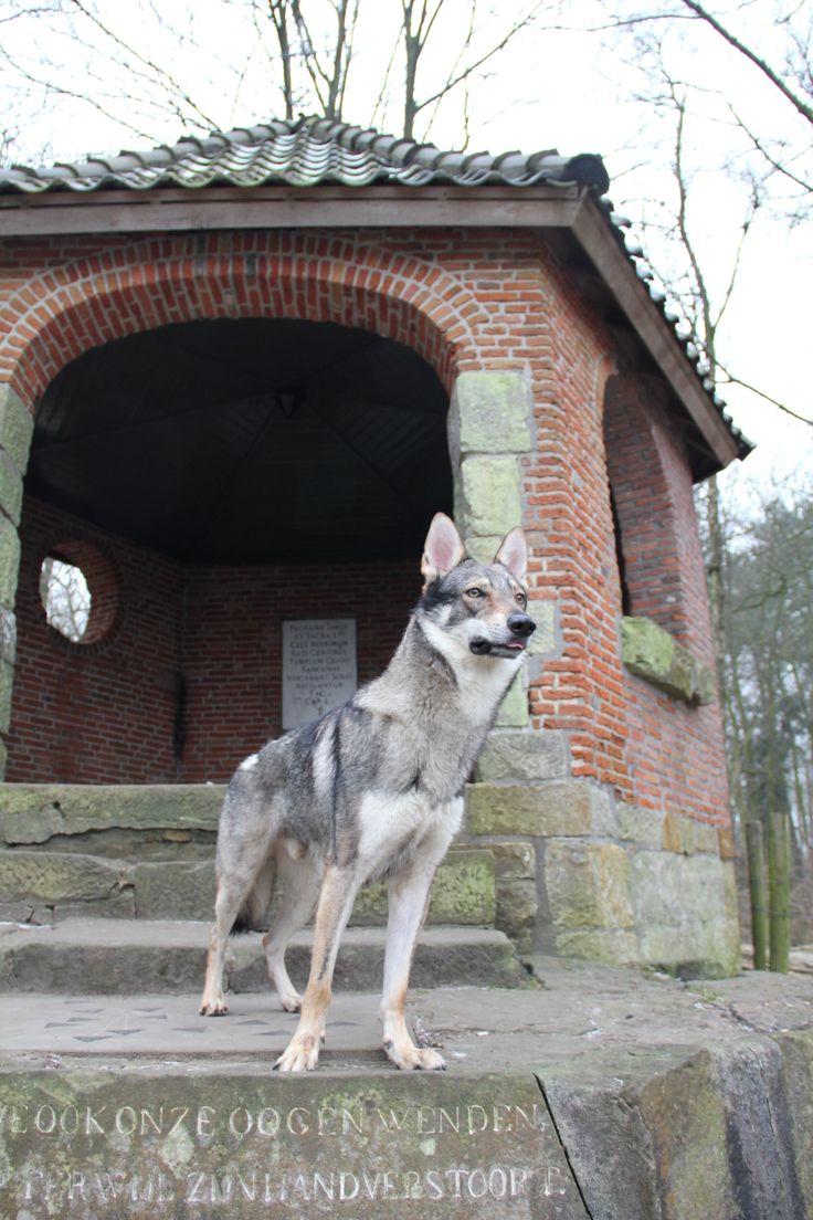 Falcon onze Tsjechoslowaakse wolfhond / Czechoslovakian Wolfdog @ tankenberg Oldenzaal