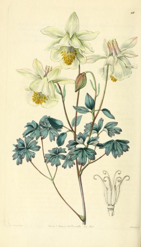 Columbine from Edwards' Botanical Register.
