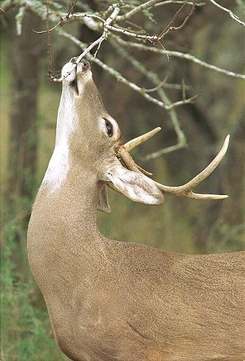 What Are Those Whitetail Deer Behaviors Telling You? on http://www.deeranddeerhunting.com