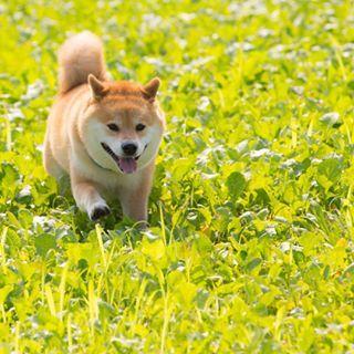 柴犬, #Shiba Inu. <3 ~lisa