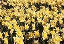 Can You Dig Up and Replant Daffodils Every Year? | Home Guides | SF Gate