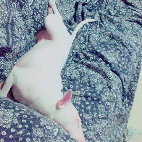 くの字のプルーさん😍😍笑  #ミニチュアブルテリア#ミニブル#ミニブルテリア#ブルテリア#プルー#ペット#愛犬#犬#久しぶりの投稿#すごい格好で #寝てる#笑#miniaturebullterrier #minibullterrier #bullterrier #bullterrierworld #bullterrierlove #bullterriergram #pet #cute