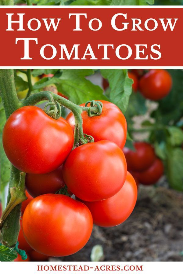 How To Grow Tomatoes Ultimate Beginners Guide Growing Tomatoes
