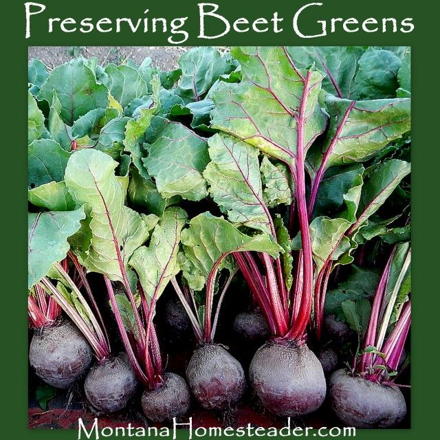 How to preserve beet greens.  Montana Homesteader