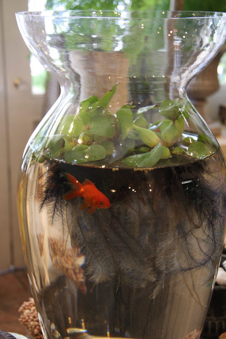 11 best fish bowls images on pinterest water plants for California fish planting