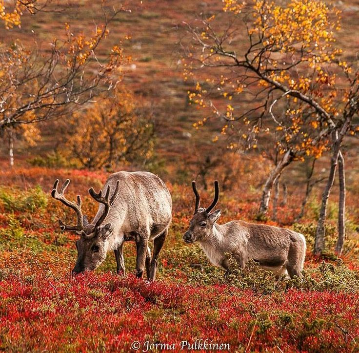 Photo by Jorma Pulkkinen @pulkkinenjorma via visitlapland instagram Enjoying the Fall. #colors #visitlapland #Finland Together in the wilderness #ruska #autumn #Lapland #finnishlapland #arcticdream #pallasylläskansallispuisto